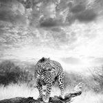 Bilderdepot24 Papier peint intissé léopard - noir et blanc 100x100 cm - pâte inclus - vente directe fabricant! de la marque Bilderdepot24 image 1 produit