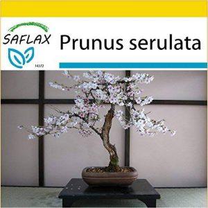 bonsaï cerisier du japon TOP 1 image 0 produit