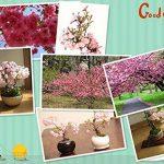 bonsaï cerisier du japon TOP 3 image 2 produit