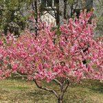 bonsaï cerisier du japon TOP 3 image 3 produit