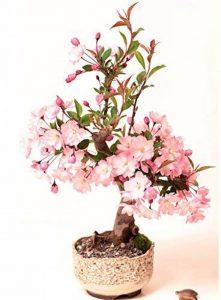 bonsaï cerisier du japon TOP 6 image 0 produit