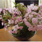 bonsaï cerisier du japon TOP 6 image 2 produit