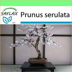 bonsaï cerisier du japon TOP 7 image 0 produit