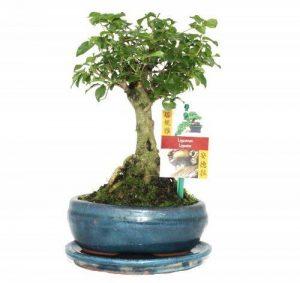 Bonsaï Chin. Privet - Ligustrum sinensis - 6ans - boule forme de la marque exotenherz.de image 0 produit