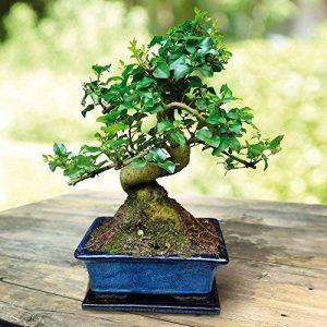Bonsaï Ligustrum 7 ans - 1 arbre de la marque JardinPourVous image 0 produit