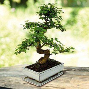 Bonsaï Ligustrum nitida S Pot 25cm - 1 arbre de la marque JardinPourVous image 0 produit