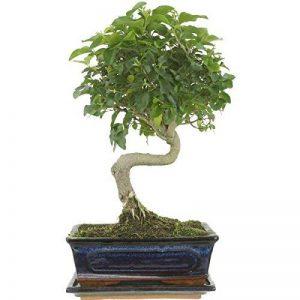 bonsaï ligustrum TOP 13 image 0 produit