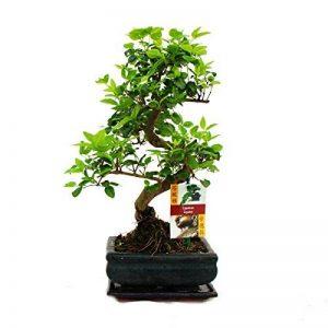 bonsaï ligustrum TOP 2 image 0 produit