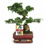 bonsaï ligustrum TOP 2 image 1 produit