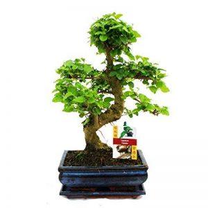 bonsaï ligustrum TOP 3 image 0 produit