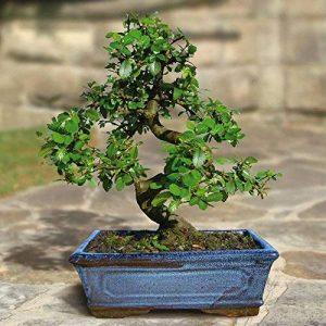 Bonsaï Orme Chinois/Ulmus parviflora. (S forme 9 ans) - 1 arbre de la marque JardinPourVous image 0 produit