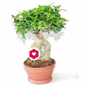bonsai ficus TOP 2 image 0 produit