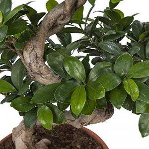 bonsai ficus TOP 4 image 0 produit