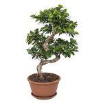 bonsai ficus TOP 4 image 2 produit