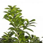 bonsai ficus TOP 5 image 1 produit