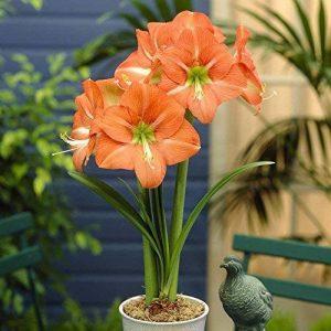 bulbe amaryllis TOP 1 image 0 produit
