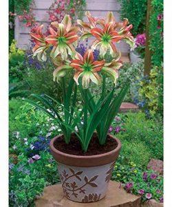 bulbe amaryllis TOP 9 image 0 produit