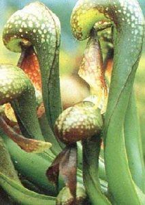 Carnivoren Tropica Lot de 10 semences de plante cobra (Darlingtonia california) avec milieu de culture de la marque Carnivoren image 0 produit