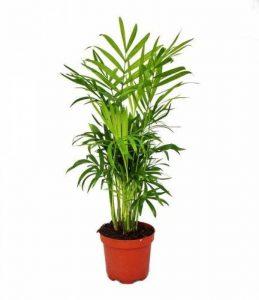 Chamaedorea elegans - palmier - 3 plantes de montagne de la marque exotenherz.de image 0 produit