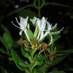 Chévrefeuille Arbustif Ou Ch. Luisant - Persistant (lonicera Nitida) de la marque Pépinières Naudet image 2 produit