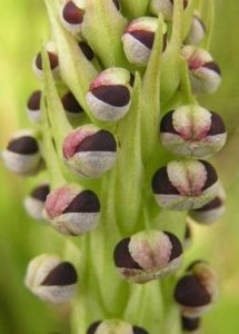 Corycium nigrescens - Orchidée terrestre - 20 graines de la marque Exotic Plants image 0 produit