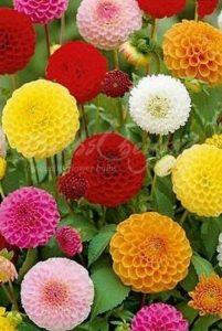 Dahlia Pompon Mélange - 20 Bulbes/tubercules de Dahlia - Livraison Gratuite de la marque Bulbs & beyond image 0 produit