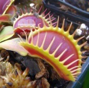 Dionaea muscipula G14 Dirk Venthams Giant - La Dion?e attrape-mouche - 5 graines de la marque Exotic Plants image 0 produit