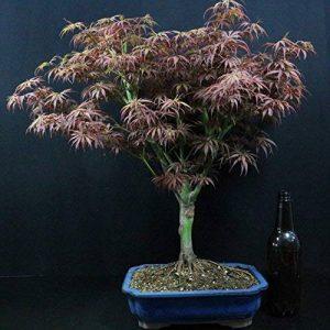 Erable palmé, Acer palmatum, Bonsaï d'extérieur, 14 ans, hauteur 42 cm de la marque Bonsai Boeking image 0 produit