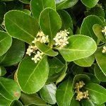Euonymus japonicus - Fusain du Japon persistant vert pour haie en kit - LOT de de la marque mesarbustes image 1 produit