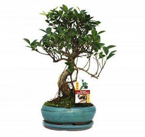 Fig chinois de bonsaï - Ficus retusa - 8 ans de la marque exotenherz.de image 0 produit