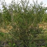 Filaire à Feuilles étroites (phillyrea Angustifolia) de la marque Pépinières Naudet image 2 produit