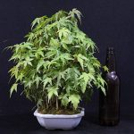 Forestier, Erable palmé, Acer palmatum yamamomiji, Bonsaï d'extérieur, 15 ans, hauteur 28 cm de la marque Bonsai Boeking image 1 produit