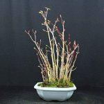 Forestier, Erable palmé, Acer palmatum yamamomiji, Bonsaï d'extérieur, 15 ans, hauteur 28 cm de la marque Bonsai Boeking image 2 produit