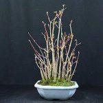 Forestier, Erable palmé, Acer palmatum yamamomiji, Bonsaï d'extérieur, 15 ans, hauteur 28 cm de la marque Bonsai Boeking image 3 produit
