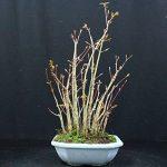 Forestier, Erable palmé, Acer palmatum yamamomiji, Bonsaï d'extérieur, 15 ans, hauteur 28 cm de la marque Bonsai Boeking image 4 produit