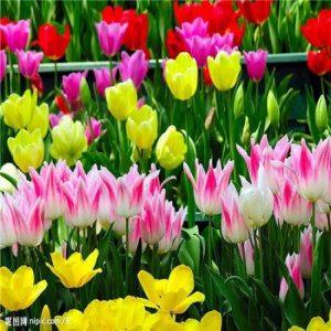 Graines Nouveau Arrivée 12 Couleur 1000 mix tulipe odorante Graines vivace Fleur pour Jardin en Bonsai, acheter 2 obtenir 10 Rose cadeau de la marque SVI image 0 produit
