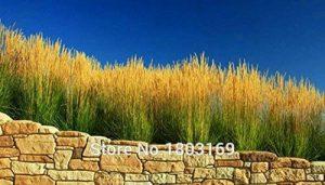 graminées ornementales graines, lapin Tails Lagurus Ovatus 100 graines * herbe Bonsai Adorable ornemental, Livraison gratuite! de la marque SVI image 0 produit