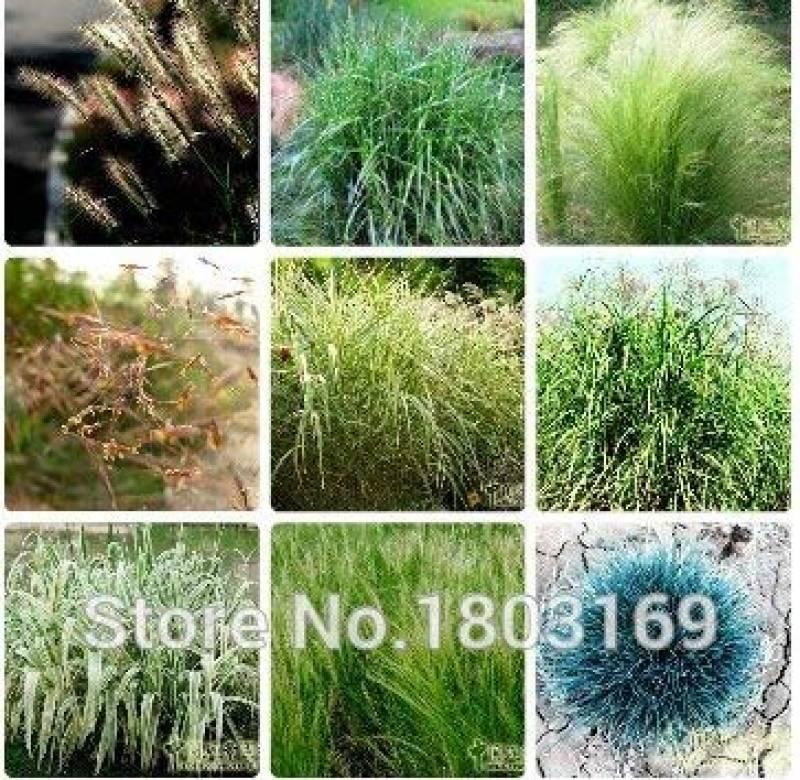Herbe ornementale-Bunny/'s Tails Lagurus Ovatus 100 graines