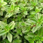 herbes aromatiques culinaires TOP 3 image 2 produit