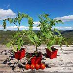 herbes aromatiques potager TOP 8 image 2 produit