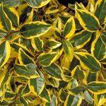 Jean Huchet Plantes - Haie colorée ton vif Multicolore Lot de 15 Plantes 8200 de la marque Jean Huchet image 2 produit