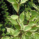 Jean Huchet Plantes - Haie colorée ton vif Multicolore Lot de 15 Plantes 8200 de la marque Jean Huchet image 1 produit