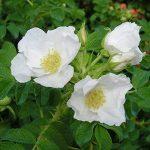 jeunes plants arbustes TOP 2 image 2 produit
