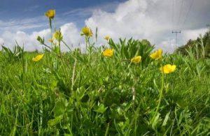Just Seed???British Fleurs sauvages???bulbe Buttercup???Renoncule Bulbosus???10?G de la marque Just Seed image 0 produit