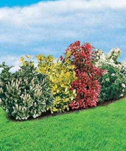 La Haie persistante 4 arbustes EXTRA de la marque Willemse France image 0 produit