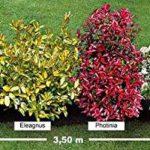La Haie persistante 4 arbustes EXTRA de la marque Willemse France image 1 produit