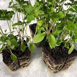 Les 7 variétés de graines de plantes médicinales de Hildegard   Ensemble de démarrage   Convient aux débutants et aux professionnels de la marque Austrosaat image 4 produit