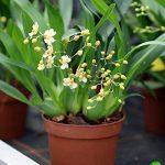 Lot de 1 Oncidium Tiny Twinkle hybride Chambre Orchidée Plant Nouveauté frais NEUF L46 de la marque Samenhandel Ipsa Import und Handel image 1 produit