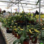 Lot de 1 Paphiopedilum Pinocchio frais chambre Orchidée plantes HYBRID 10 cm POT L28 de la marque Samenhandel Ipsa Import und Handel image 1 produit