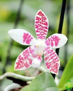 Lot de 1 phalaenopis GRACIEUX x tetraspis hybride Orchidée chambre Plant Nouveauté L22 de la marque Samenhandel Ipsa Import und Handel image 0 produit